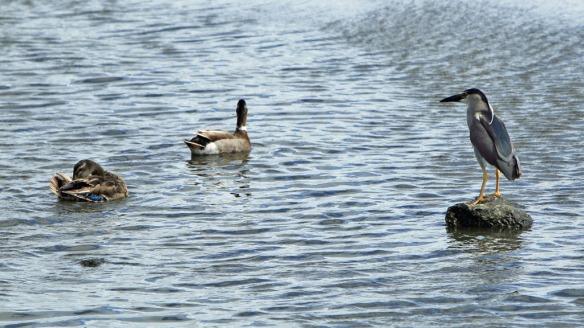 Kealia Bordwalk bird and ducks