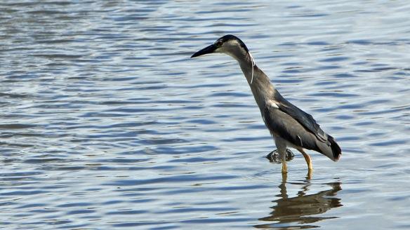 Kealia Bordwalk Egret type bird