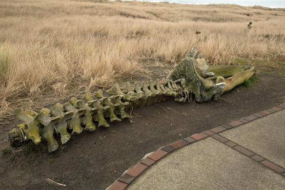 long-beach-wa-grey-whale-skeleton