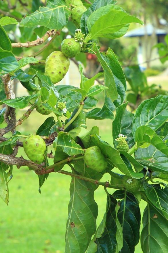 08 Noni fruit tree
