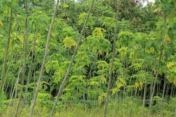09 Thin Tapa trees bark used to make mats
