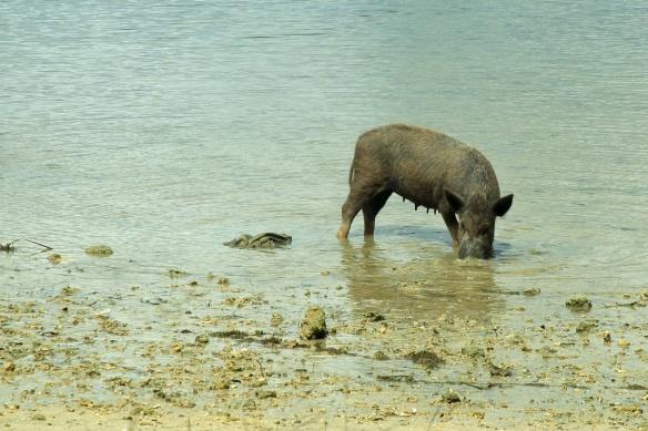 12 Fishing pig