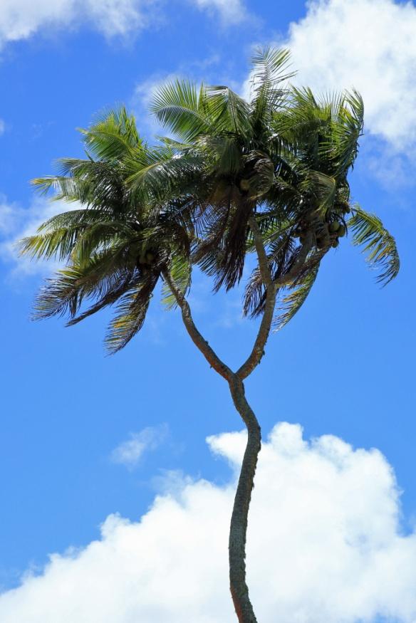 17 3-headed coconut tree