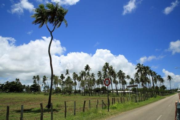 18 Single 3-headed cocunut tree