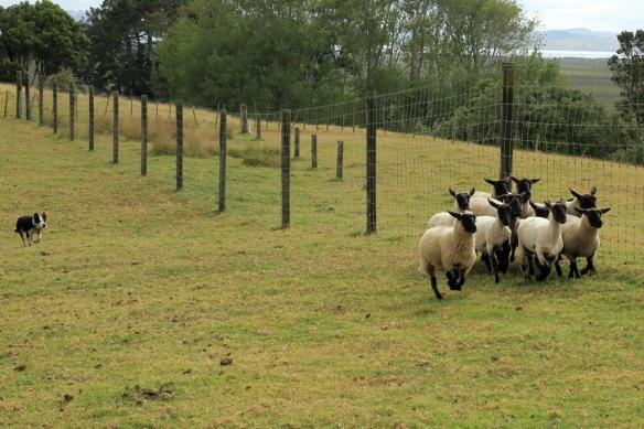 Haumoana dog herding sheep 3