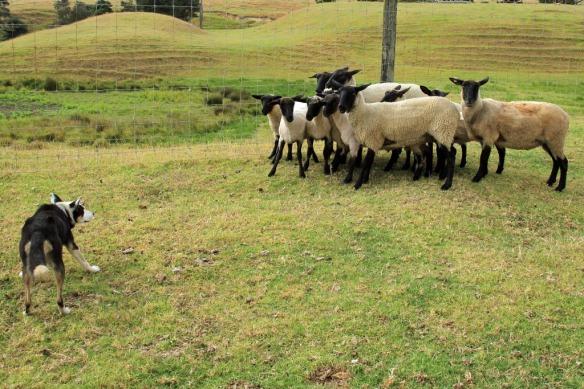 Haumoana dog herding sheep 5