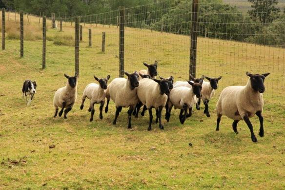 Haumoana dog herding sheep