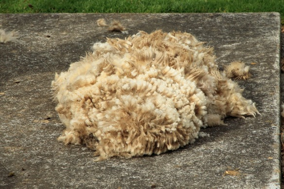 Haumoana pile of wool from 1st sheep