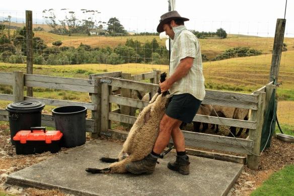 Haumoana ranch hand prepares sheep for shearing