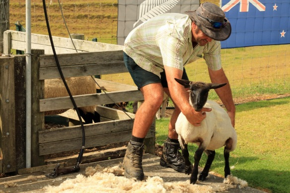 Haumoana ranch hand shearing sheep 6