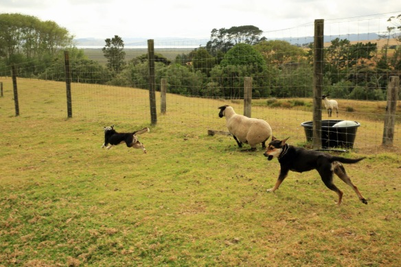 Haumoana sheep escaped