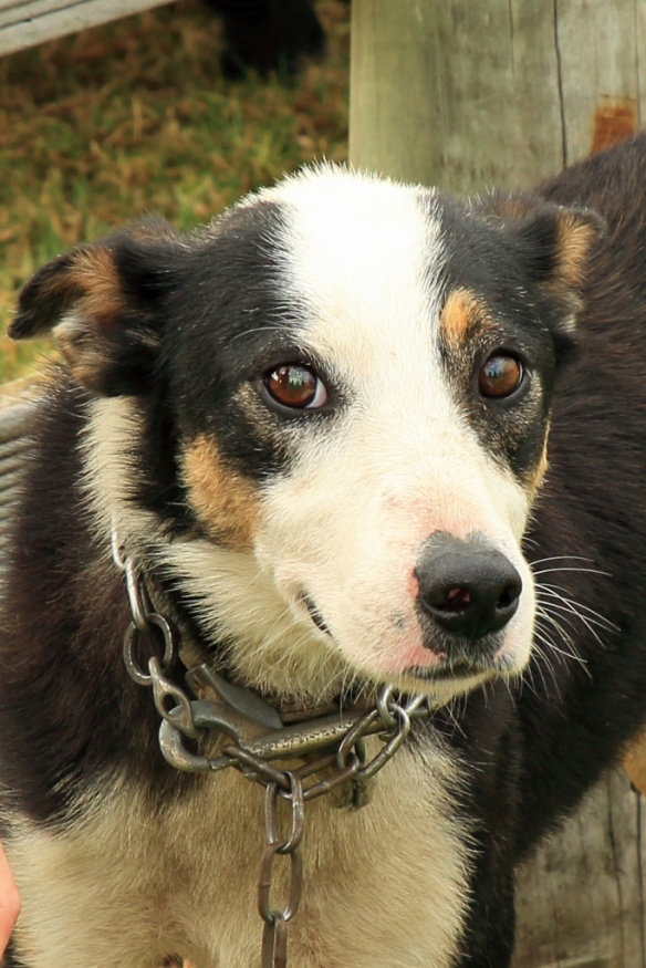 Haumoana sheepdog close up