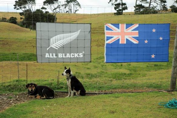 Haumoana sheepdogs and flags