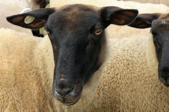Haumoana sheep's head close-up 3