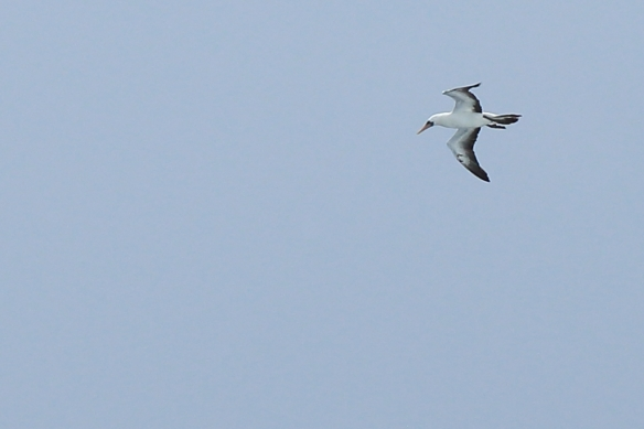 Nazca Booby cruising in the wind