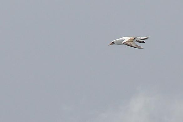 Nazca Booby flying alongside ship