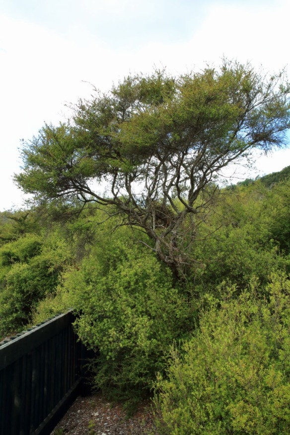 Te Puia tea tree plants