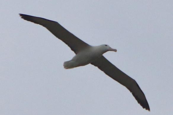 Albatross centre albatros in flight 2