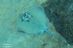 Aquarium manta ray 2