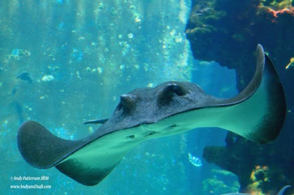 Aquarium manta ray 4