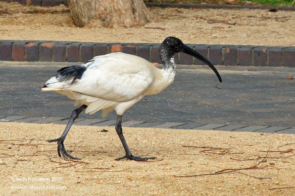 Australian pelican type bird