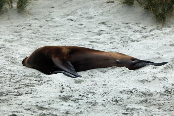 Hooper's Inlet beach Sea Lion 2
