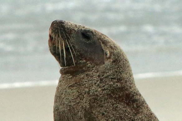 Hooper's Inlet beach Sea Lion pup