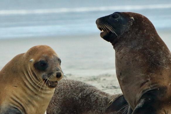 Hooper's Inlet beach Sea Lion pups 3