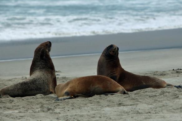 Hooper's Inlet beach Sea Lion pups 5