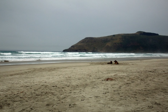 Hooper's Inlet beach with sea lion pups
