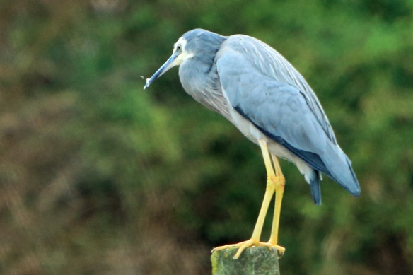 Hooper's Inlet white faced heron 4