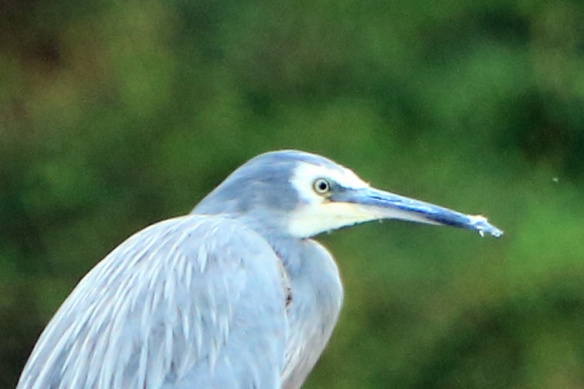 Hooper's Inlet white faced heron close-up