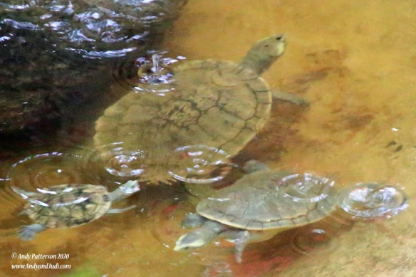 Koala Village FW Turtles 3