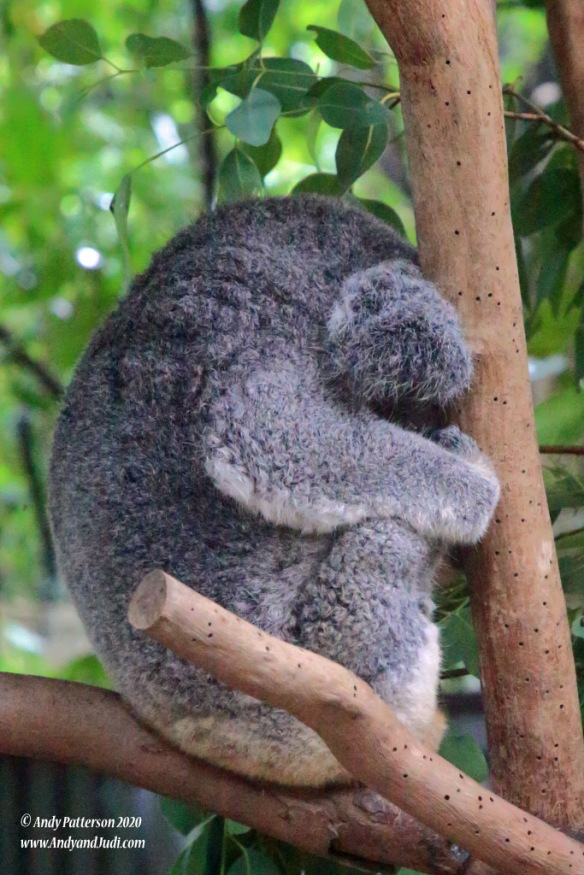 Koala Village Koala asleep in tree 2