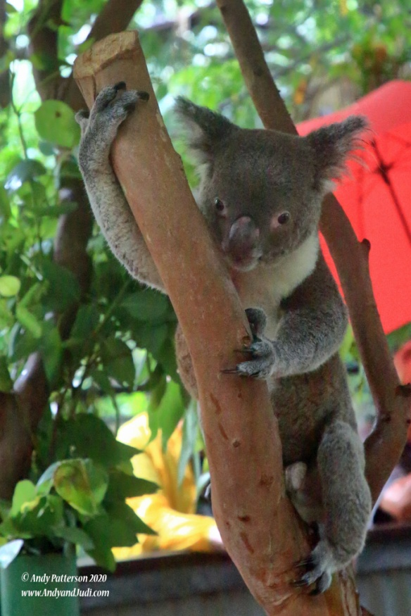 Koala Village Koala in tree 9