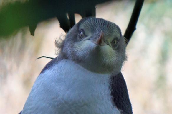 Penguin sanctuary baby penguin hiding under tree 6