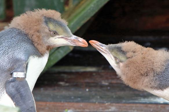 Penguin sanctuary baby penguins 3