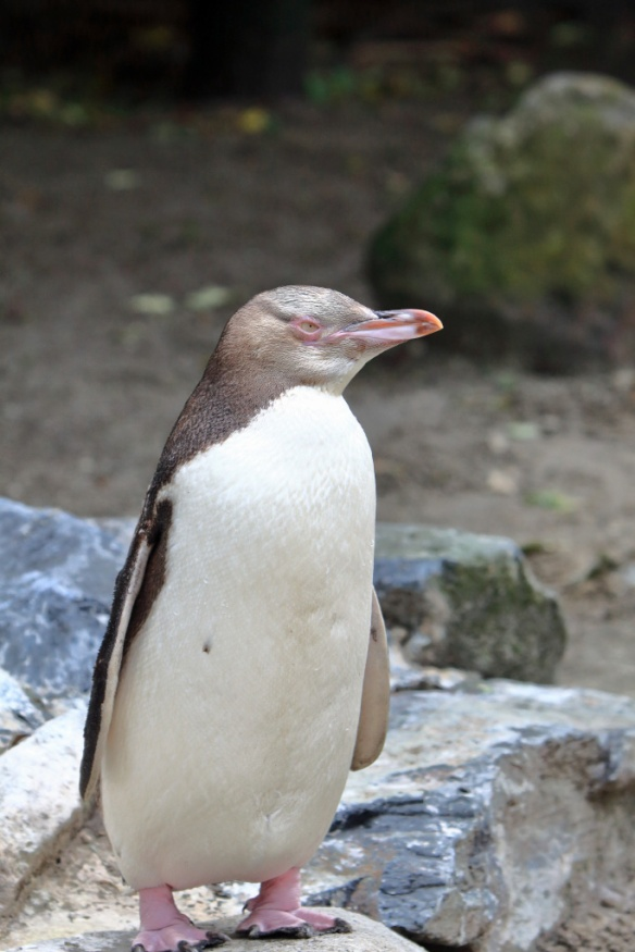 Penguin sanctuary young one in rehab 3