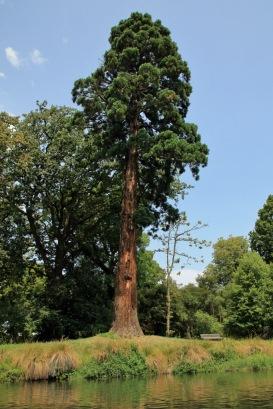 Punting 12 Redwood tree