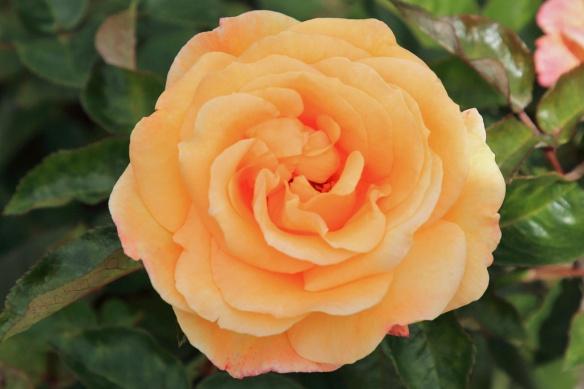 Rose Gardens 5