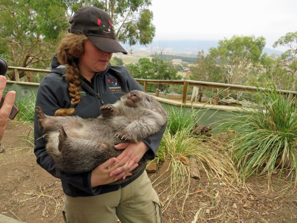 Wombat getting cuddles from the guide