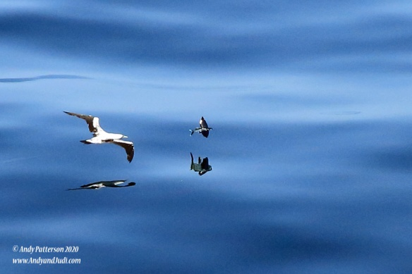 Bird following flying fish 2