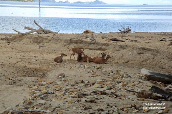 Deer herd lounging on beach