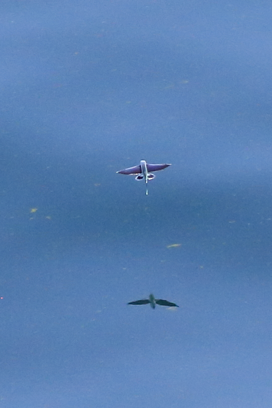 Flying fish and reflection
