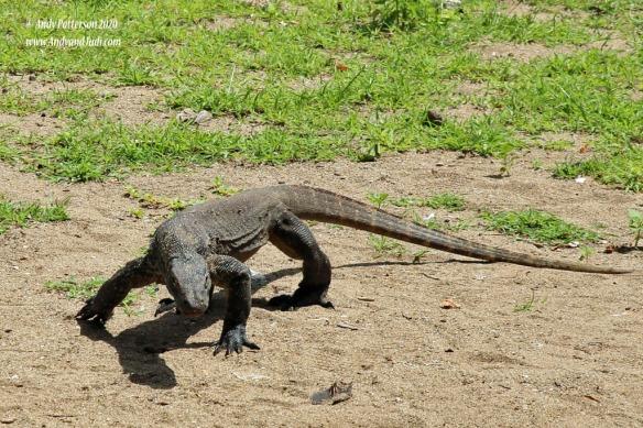 Komodo Dragon baby around the tour meet