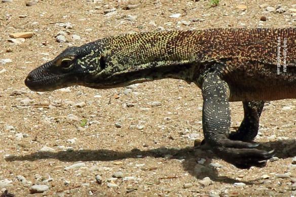 Komodo Dragon baby close-up
