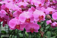 Orchid garden pink orchids 8
